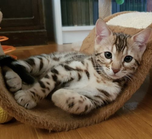 Bengal Cats for sale in Chicago, IL, USA. price -USD
