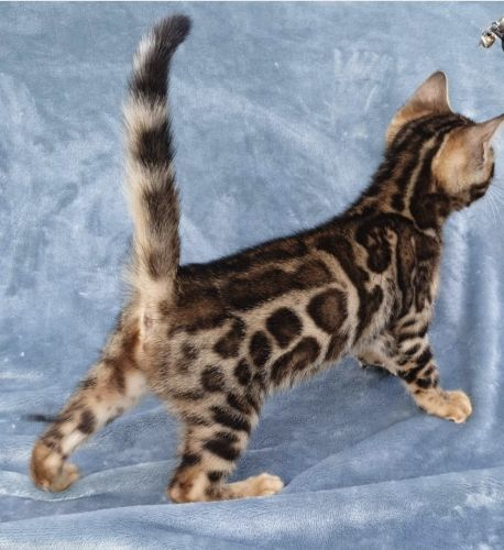 Bengal Cats for sale in Chicago, IL, USA. price 1200USD