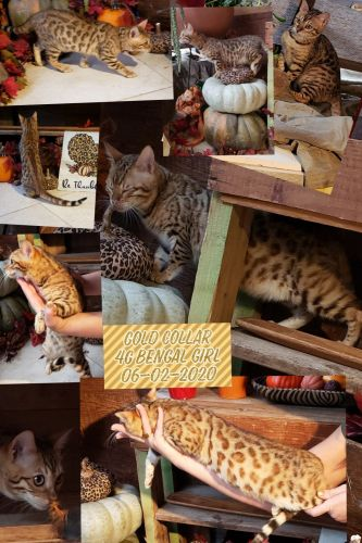 Bengal Cats for sale in Middletown, PA 17057, USA. price 2200USD