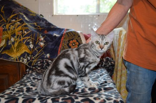 Bengal Cats for sale in Willard, MO 65781, USA. price 350USD