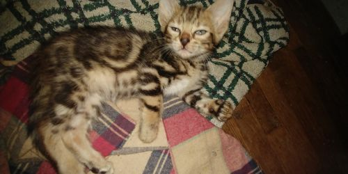 Bengal Cats for sale in Gadsden, AL, AL, USA. price 600USD