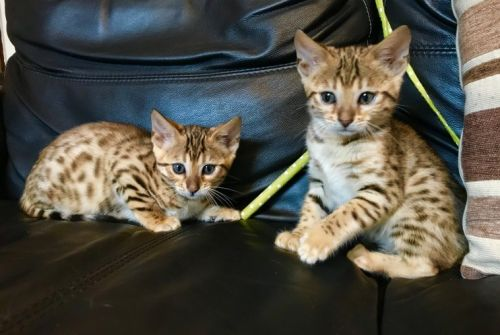 Bengal Cats for sale in Clifton, NJ 07014, USA. price 430USD