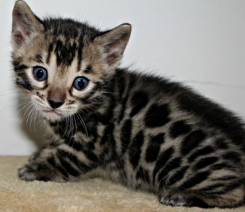 Bengal Cats for sale in Hurricane, WV, USA. price 1800USD