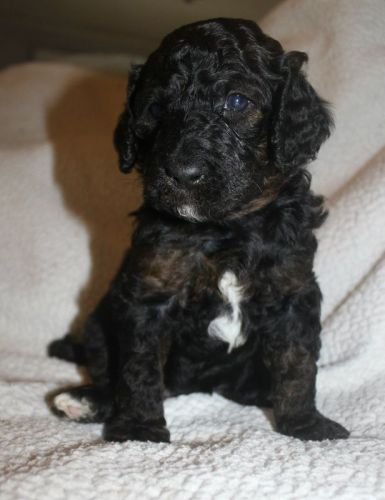 Bernedoodle Puppies for sale in Mabelvale, Little Rock, AR, USA. price 3500USD