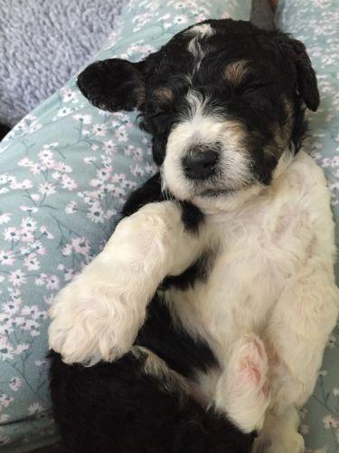 Pekingese Puppies Sale | Tulsa, OK #4823 | Hoobly US