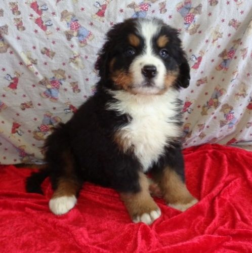 Bernese Mountain Dog Puppies for sale in Boston, MA, USA. price -USD