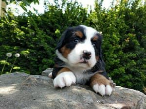 Bernese Mountain Dog Puppies for sale in E S 6th St, Abilene, TX 79602, USA. price 700USD
