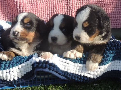 Bernese Mountain Dog Puppies for sale in California St, San Francisco, CA, USA. price 400USD