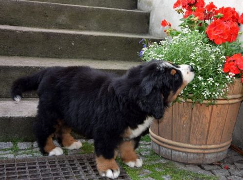 Bernese Mountain Dog Puppies for sale in E S 6th St, Abilene, TX 79602, USA. price -USD