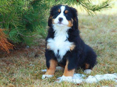 Bernese Mountain Dog Puppies for sale in Houston, TX 77005, USA. price 450USD