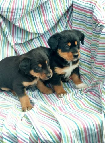 Bernese Mountain Dog Puppies for sale in Hartland, MI 48353, USA. price 550USD