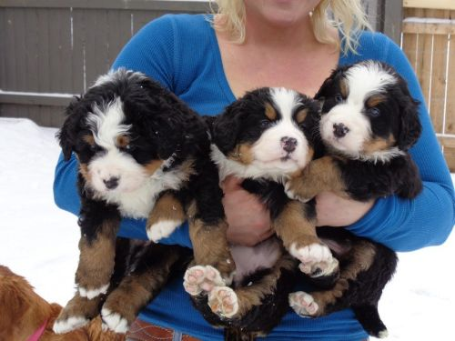 Bernese Mountain Dog Puppies for sale in Colorado Springs, CO, USA. price 500USD