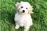 Bichon Frise Puppies for sale in New Haven, CT 06501, USA. price 400USD