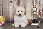 Bichon Frise Puppies for sale in Las Vegas, NV, USA. price 400USD
