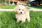 Bichon Frise Puppies for sale in Omaha, NE 68101, USA. price 400USD