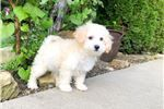 Bichon Frise Puppies for sale in Phoenix Ave, Fort Smith, AR, USA. price 400USD