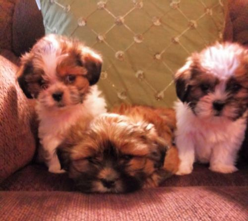 Bichon Frise Puppies Sale near Ohio within 200 miles
