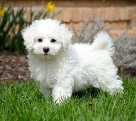 Bichon Frise Puppies for sale in Los Angeles, CA 90001, USA. price 450USD