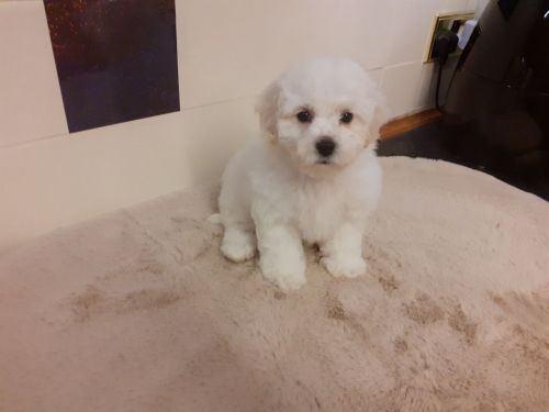 Bichon Frise Puppies for sale in Charlotte, NC, USA. price 400USD