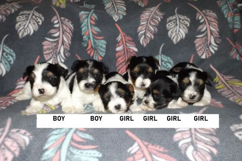 Biewer Puppies for sale in Carleton, MI 48117, USA. price 1000USD