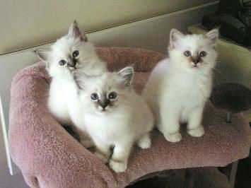 Birman Cats for sale in Los Angeles, CA, USA. price -USD