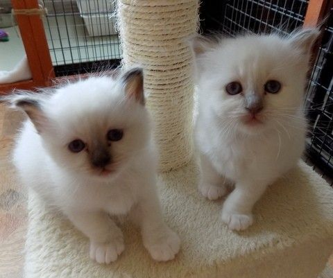 Birman Cats for sale in Indianapolis, IN, USA. price -USD