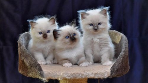 Birman Cats for sale in Texas City, TX, USA. price -USD