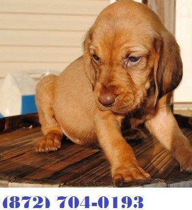 Bloodhound Sale United States | Hoobly US