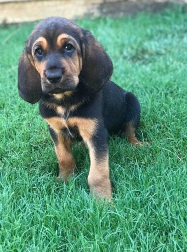 Bloodhound Puppies for sale in Riverside, CA, USA. price 680USD