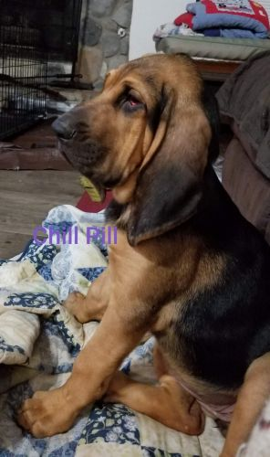 Bloodhound Puppies for sale in Angleton, TX 77515, USA. price 500USD