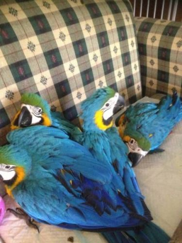 Blue-and-yellow Macaw Birds for sale in Alexandria, VA 22312, USA. price 700USD