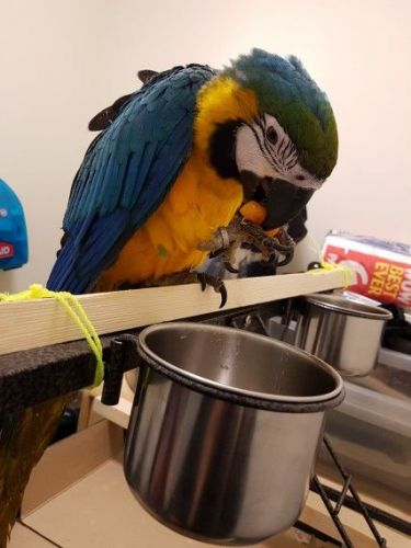 Blue-and-yellow Macaw Birds for sale in Los Angeles, CA, USA. price -USD