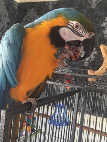 Blue-and-yellow Macaw Birds for sale in Texas City, TX, USA. price 1000USD