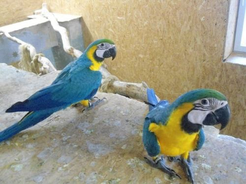 Blue-and-yellow Macaw Birds for sale in Colorado Springs, CO, USA. price 1000USD
