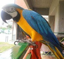 Blue-and-yellow Macaw Birds for sale in Colorado Ave, Pueblo, CO 81004, USA. price 650USD