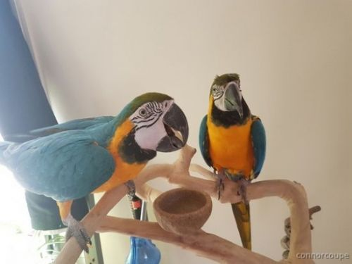Blue-and-yellow Macaw Birds for sale in Baltimore, MD, USA. price 700USD