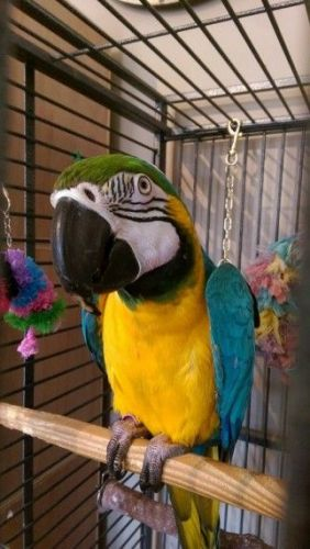 Blue-and-yellow Macaw Birds for sale in New York County, New York, NY, USA. price 350USD