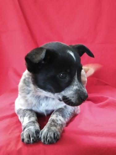 Blue Healer Puppies for sale in Birch Run, MI 48415, USA. price 200USD