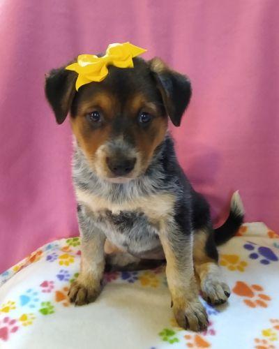 Blue Healer Puppies for sale in Birch Run, MI 48415, USA. price 250USD