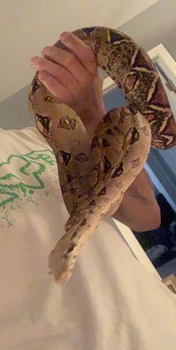 Boa Reptiles for sale in Jeffersonville, IN, USA. price 300USD