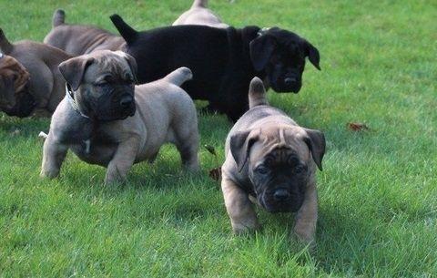 Boerboel Puppies for sale in San Francisco, CA 94110, USA. price 500USD