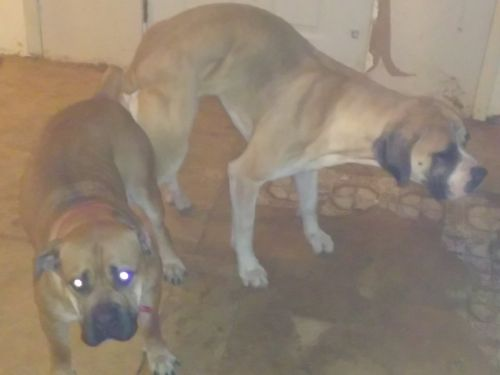 Boerboel Puppies for sale in Liberty Township, OH, USA. price 1200USD