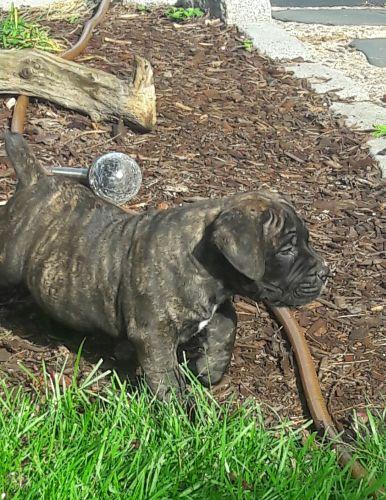Boerboel Puppies for sale in Edison, NJ, USA. price 2000USD