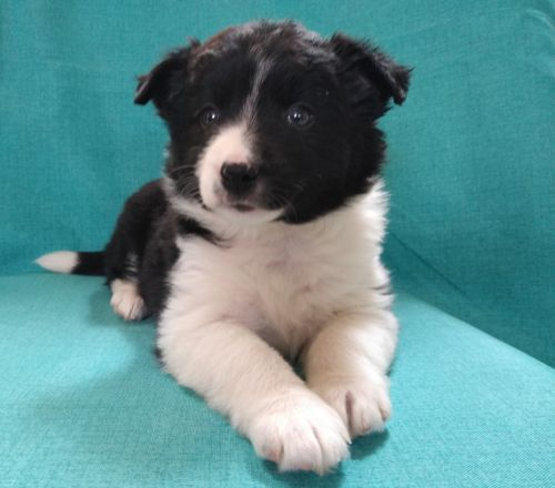 Borador Puppies for sale in Birch Run, MI 48415, USA. price 300USD