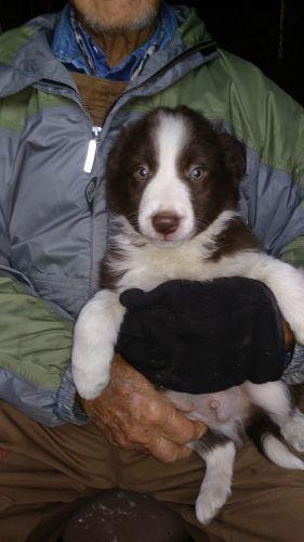 Siberian Husky Puppies Sale Zebulon Nc 646 Hooblyus