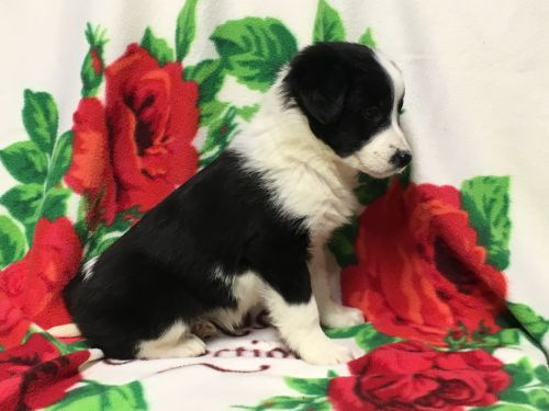 Border Collie Puppies Sale Alliance Oh 7036 Hooblyus