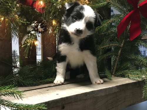 Border Collie Puppies for sale in Navarre, OH 44662, USA. price 650USD