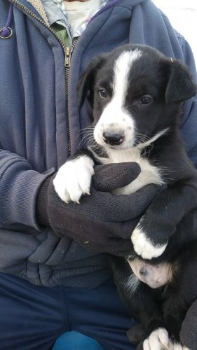 Border Collie Puppies for sale in Alliance, OH 44601, USA. price 200USD