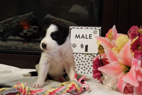 Border Collie Puppies for sale in Clear Spring, MD 21722, USA. price 700USD