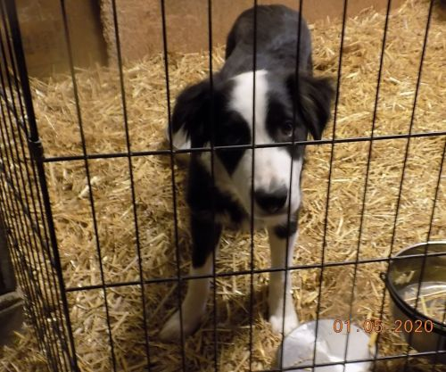 Border Collie Puppies for sale in Williamston, MI 48895, USA. price 200USD